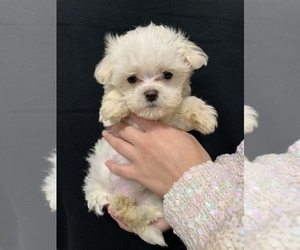 Maltese Puppy for sale in VALDOSTA, GA, USA