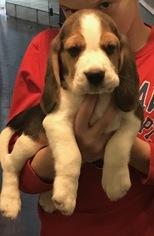Beagle Puppy For Sale in SAN LUIS OBISPO, CA