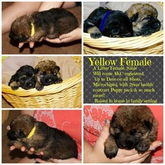 German Shepherd Dog Puppy For Sale in CANTON, GA