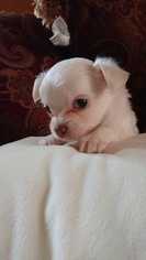 Chihuahua Puppy For Sale in COCHRANVILLE, PA