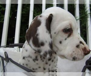 Dalmatian Puppy for sale in HUDSON, MI, USA
