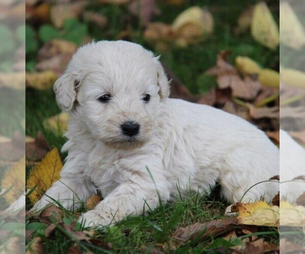 Medium Photo #3 Goldendoodle-Poodle (Miniature) Mix Puppy For Sale in STANLEY, WI, USA