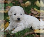 Small Photo #3 Goldendoodle-Poodle (Miniature) Mix Puppy For Sale in STANLEY, WI, USA