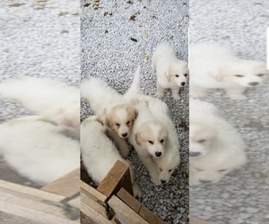 Great Pyrenees Puppy for sale in SPRINGFIELD, MO, USA
