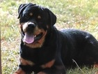 Rottweiler Puppy For Sale in FRUITLAND, ID, USA