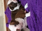 Boston Terrier Puppy For Sale in DISCOVERY BAY, CA, USA