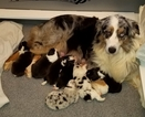 Australian Shepherd Puppy For Sale in VINCENT, OH, USA