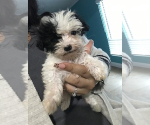 Maltese-Maltipoo Mix Puppy for sale in POTEET, TX, USA