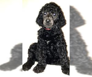 Poodle (Standard) Puppy for sale in SAN DIEGO, CA, USA