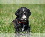 Puppy 6 Springerdoodle