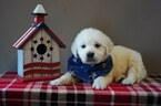 English Cream Golden Retriever Puppy For Sale in BROOK PARK, PA, USA