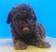 Chocolate Toy Poodle Bean