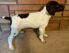 German Shorthaired Pointer Puppy For Sale in POST FALLS, ID, USA