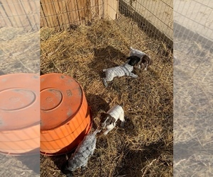 German Shorthaired Pointer Puppy for sale in EMERSON, IA, USA