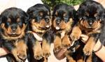 Rottweiler Puppy For Sale in LEWES, DE, USA