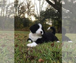 Bernedoodle Puppy for Sale in SUMMERVILLE, South Carolina USA