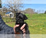 Puppy 3 Pug-A-Poo