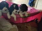 English Springer Spaniel Puppy For Sale in LA JUNTA, CO, USA