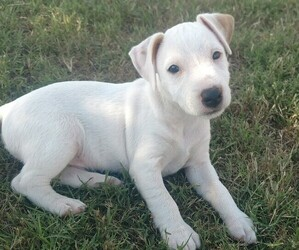 Jack Russell Terrier Puppy for sale in CACHE, OK, USA
