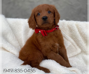 Goldendoodle-Poodle (Miniature) Mix Puppy for Sale in ROSEMEAD, California USA