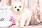 Cavachon Puppy For Sale in BEL AIR, Maryland,