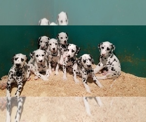 Dalmatian Puppy for sale in DUVALL, WA, USA