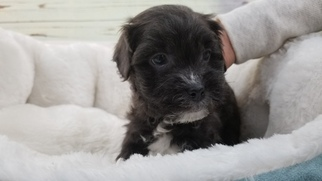 View Ad Maltese Yorkie Poo Mix Puppy For Sale California La