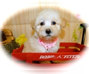 Maltese-Poodle (Toy) Mix Puppy for sale in HAMMOND, IN, USA