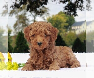 Poodle (Miniature) Puppy for sale in GAP, PA, USA