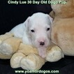Small Photo #56 Dogo Argentino Puppy For Sale in PINEVILLE, MO, USA