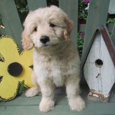 Goldendoodle (Miniature) Puppy for sale in GAP, PA, USA