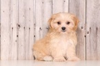 Shih Tzu Puppy For Sale in MOUNT VERNON, OH,