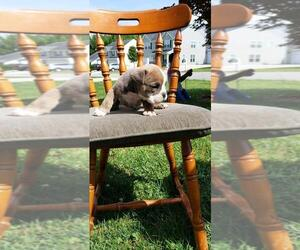 Olde English Bulldogge Puppy for sale in THOMASVILLE, NC, USA