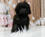 Puppy 0 Poodle (Toy)