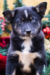 Pomsky Puppy For Sale in BALL GROUND, GA, USA