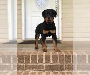 Rottweiler Puppy for sale in HICKORY, NC, USA