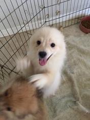 Pomeranian Puppy For Sale in PUNTA GORDA, FL
