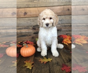 Saint Berdoodle Puppy for sale in BELVIDERE, IL, USA