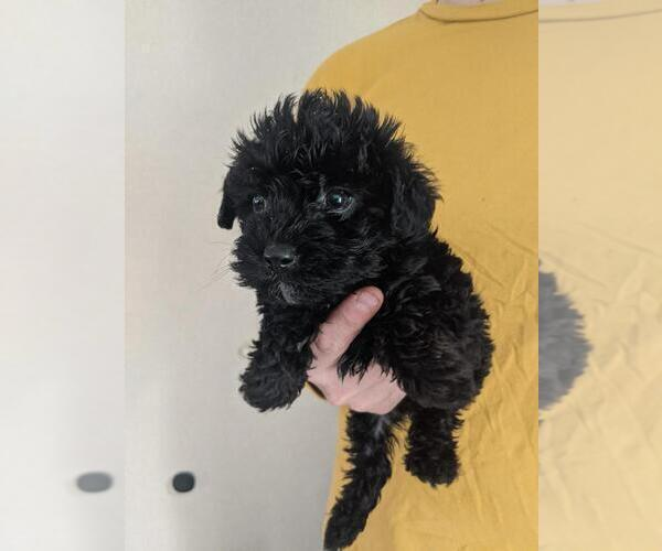 Medium Photo #1 Poodle (Toy)-Yorkshire Terrier Mix Puppy For Sale in SPENCER, TN, USA