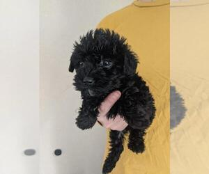 Poodle (Toy)-Yorkshire Terrier Mix Puppy for Sale in SPENCER, Tennessee USA
