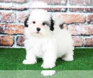 Zuchon Puppy for sale in BEL AIR, MD, USA