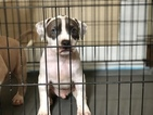 American Pit Bull Terrier Puppy For Sale in RIVERSIDE, CA,
