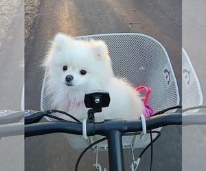 Pomeranian Puppy for sale in WICHITA, KS, USA