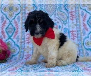 Bernedoodle Dog for Adoption in LANCASTER, Pennsylvania USA