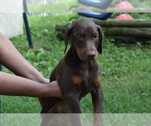 Doberman Pinscher Dog for Adoption in RIVERDALE, Maryland USA