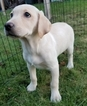 Labrador Retriever Puppy For Sale in WARREN, MA, USA