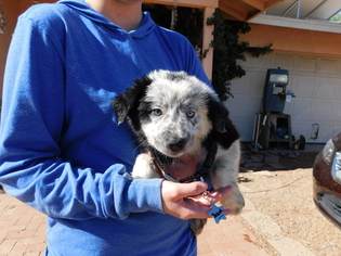 Border Collie Puppy For Sale in GREEN VALLEY, AZ, USA