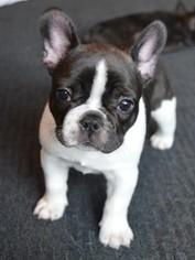 French Bulldog Puppy For Sale in ORANGEVALE, CA, USA