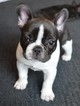 French Bulldog Puppy For Sale in ORANGEVALE, CA, USA