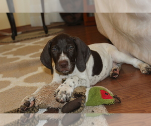 German Shorthaired Pointer Puppy for sale in MEYERSDALE, PA, USA
